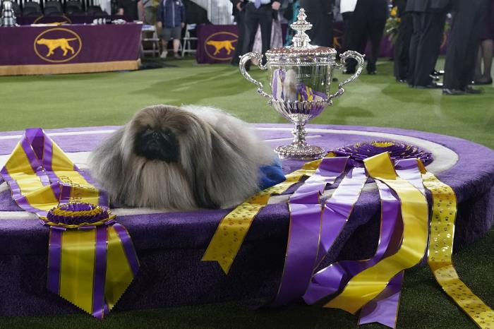 Wasabi, a Pekingese, rests on the winner's podium with its trophy and ribbons after winning Best in Show at the Westminster Kennel Club dog show.